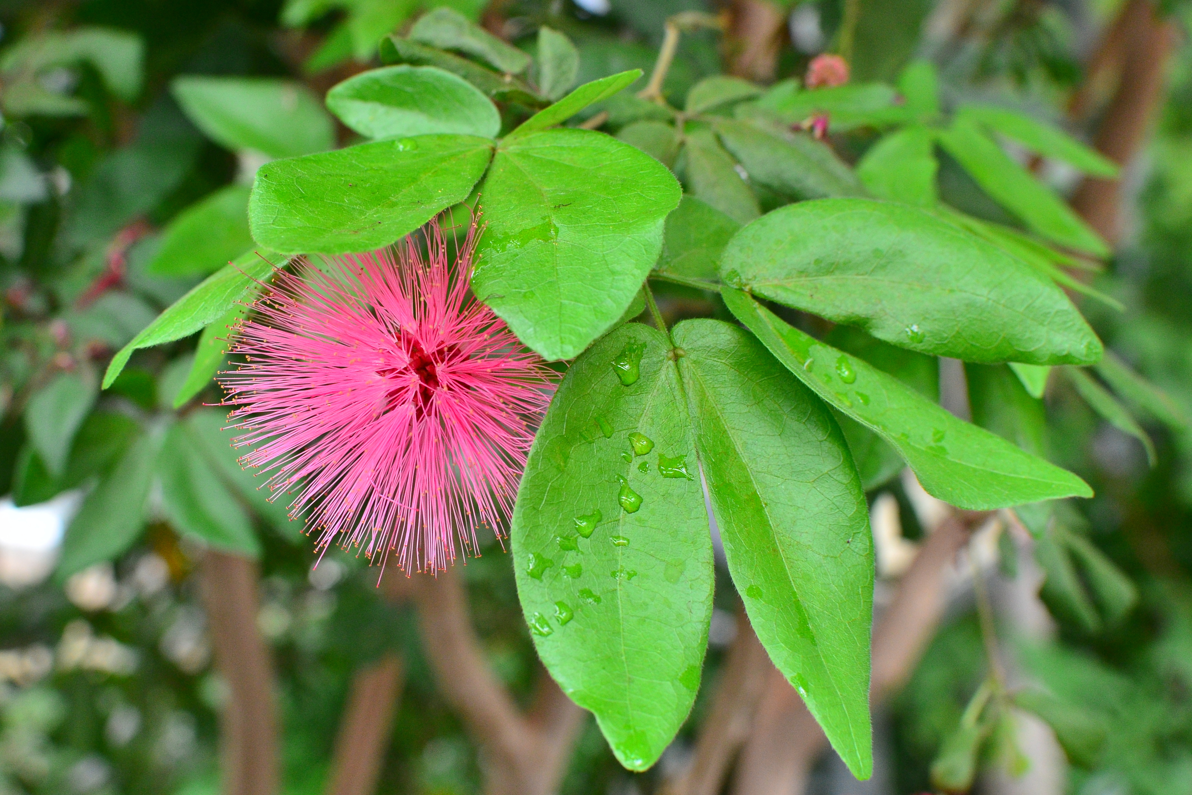 Powderpuff Tree - South-Florida-Plant-Guide Powder puff tree pictures